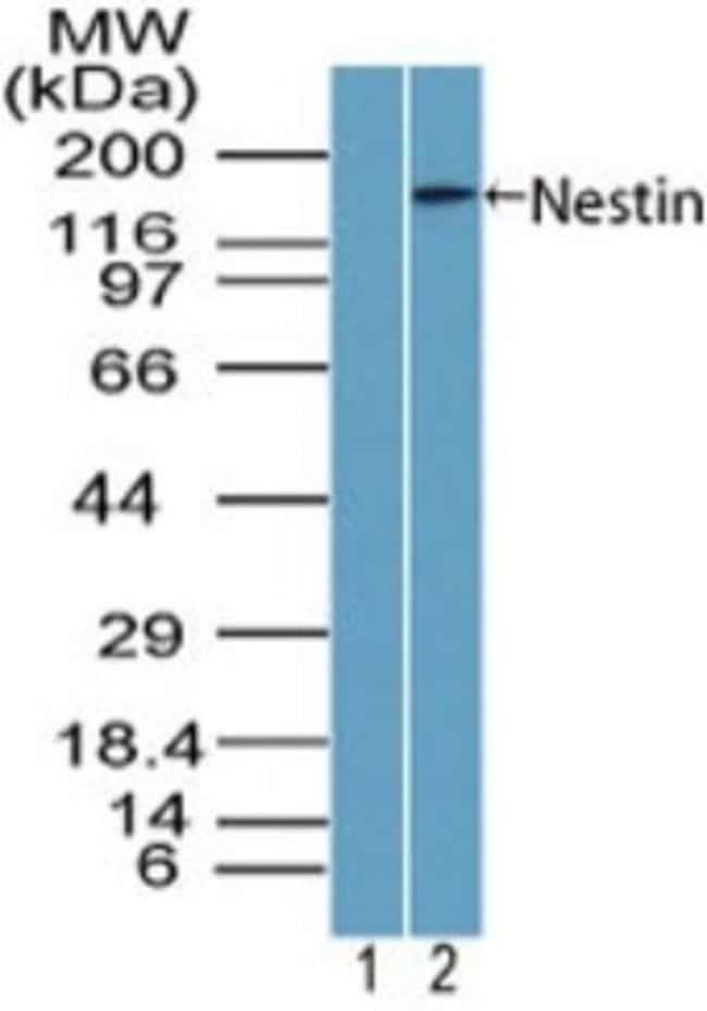 anti-Nestin, Polyclonal, Novus Biologicals:Antibodies:Primary Antibodies