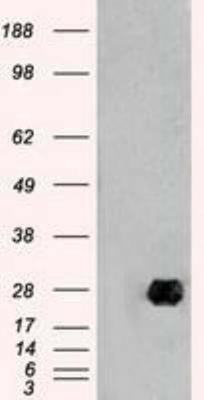 Neurogenin-1 Mouse anti-Human, Clone: OTI3F9, Novus Biologicals 0.1mL;