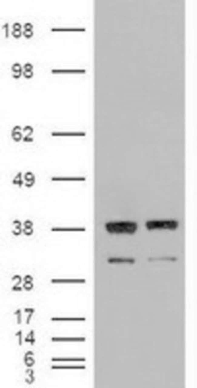 anti-Neurotrophin 3, Clone: 5A2, Novus Biologicals 0.1mL; Unlabeled:Life