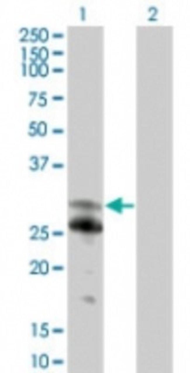 anti-NFAM1, Polyclonal, Novus Biologicals:Antibodies:Primary Antibodies