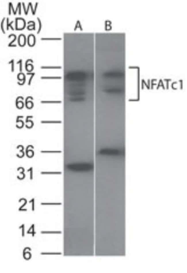 anti-NFATC1/NFAT2, Polyclonal, Novus Biologicals:Antibodies:Primary Antibodies