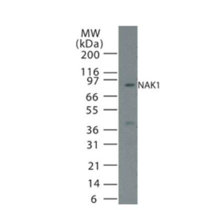anti-NGFI-B alpha/Nur77/NR4A1, Polyclonal, Novus Biologicals:Antibodies:Primary