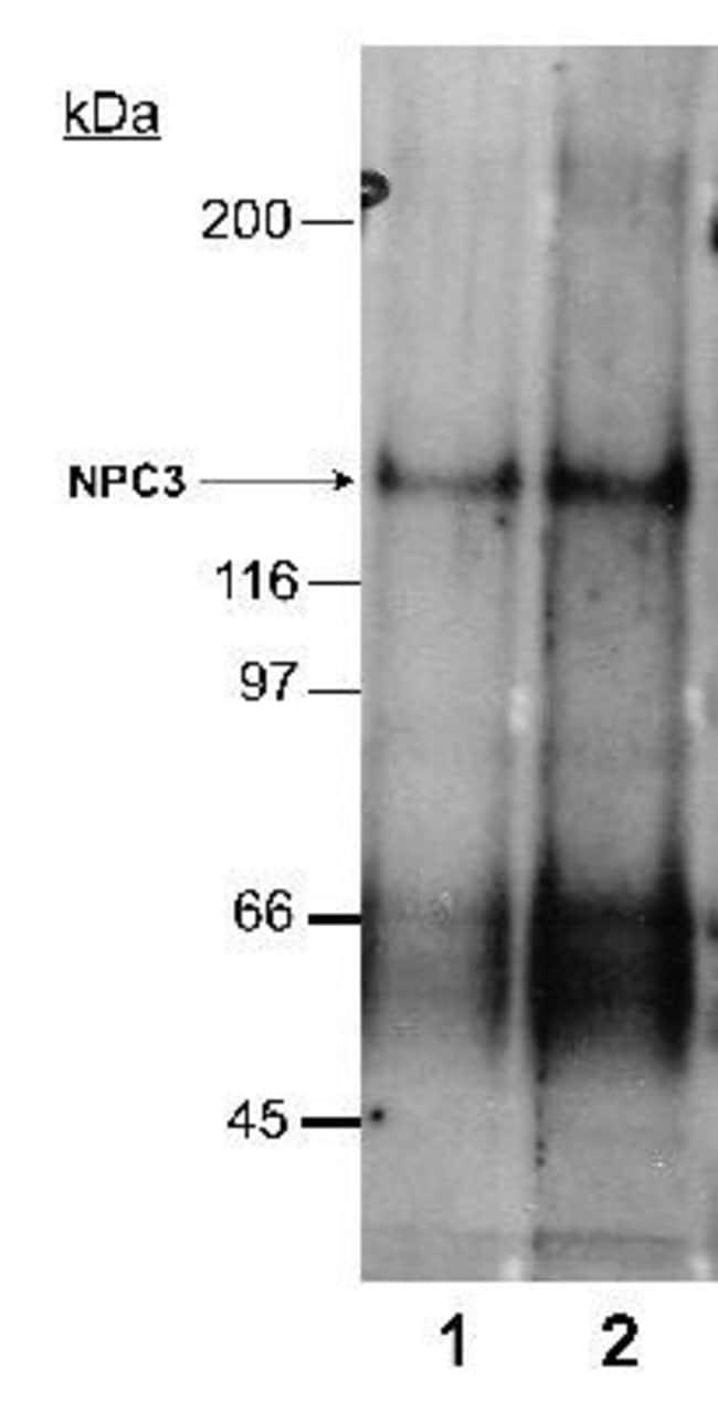 anti-Niemann-Pick type C1 Like-1, Polyclonal, Novus Biologicals:Antibodies:Primary