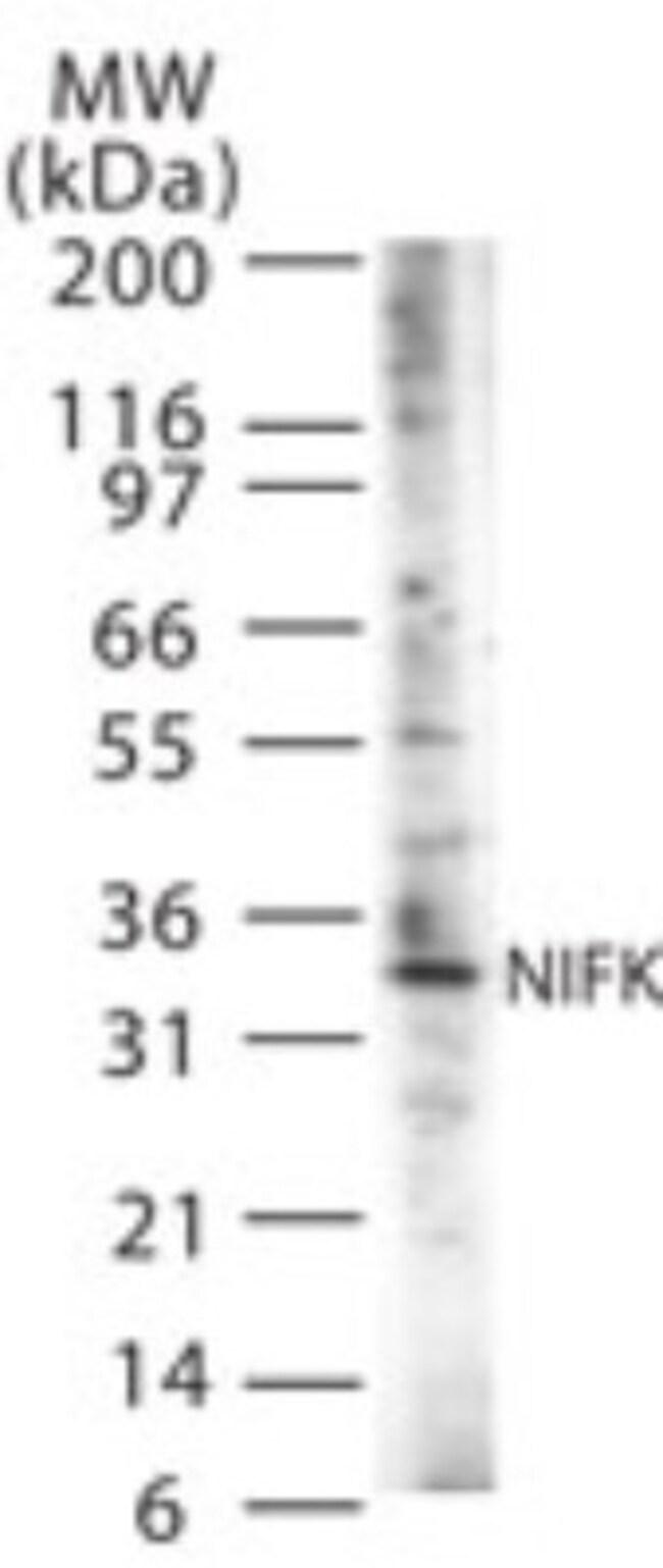 anti-NIFK, Polyclonal, Novus Biologicals:Antibodies:Primary Antibodies