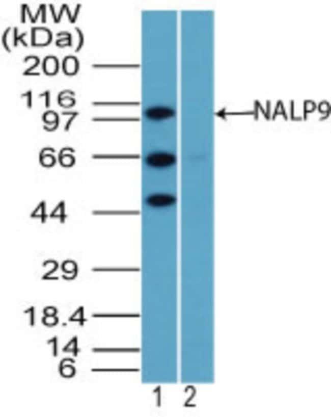 anti-NLRP9, Polyclonal, Novus Biologicals:Antibodies:Primary Antibodies