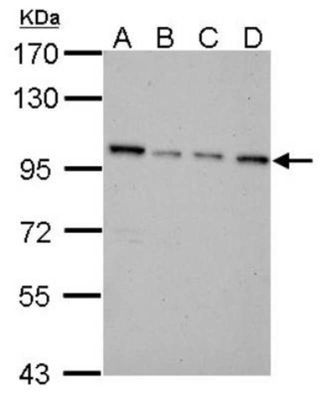 anti-NNT, Polyclonal, Novus Biologicals 0.1mL; Unlabeled:Life Sciences