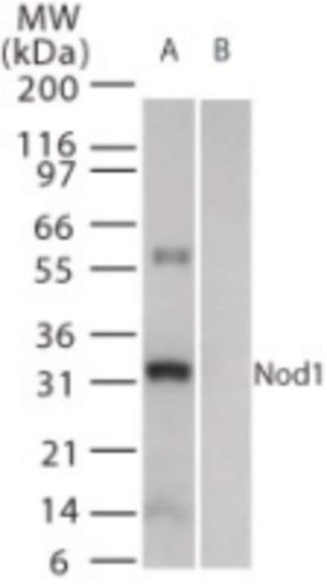 anti-NOD1, Polyclonal, Novus Biologicals:Antibodies:Primary Antibodies