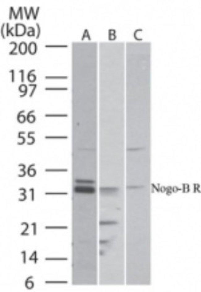 anti-Nogo B receptor, Polyclonal, Novus Biologicals:Antibodies:Primary