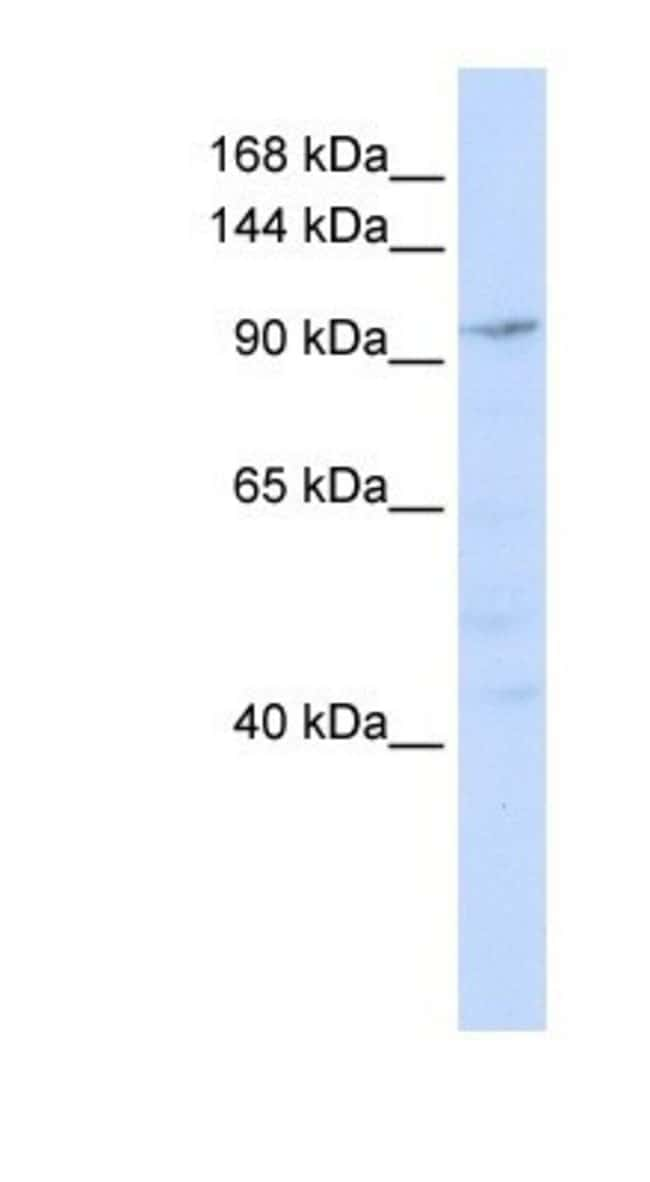 NOMO1 Rabbit anti-Human, Polyclonal, Novus Biologicals 100µL; Unlabeled:Life