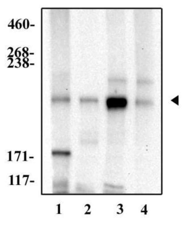anti-Notch-4, Polyclonal, Novus Biologicals:Antibodies:Primary Antibodies