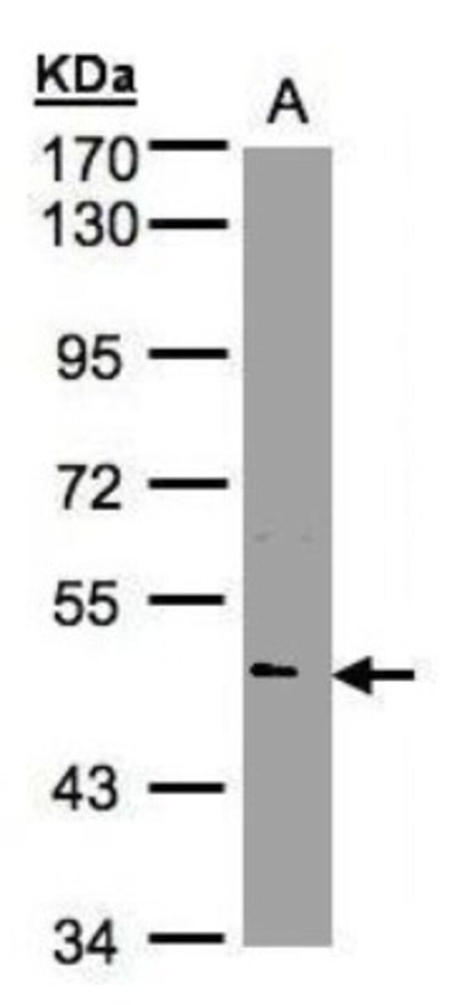 anti-Nova1, Polyclonal, Novus Biologicals 0.1mL; Unlabeled:Life Sciences