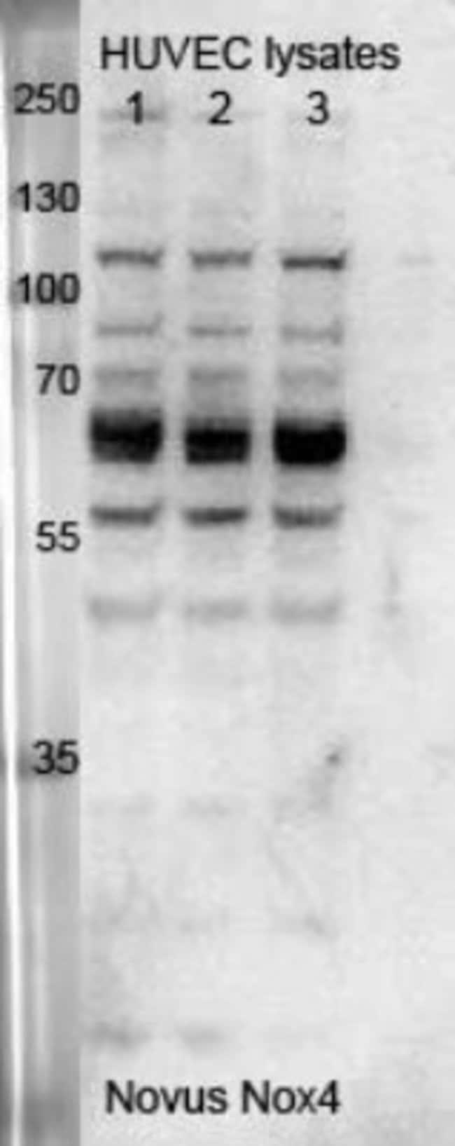 anti-Nox4, Polyclonal, Novus Biologicals:Antibodies:Primary Antibodies