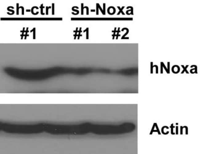 Noxa Rabbit anti-Human, Mouse, Polyclonal, Novus Biologicals:Antibodies:Primary