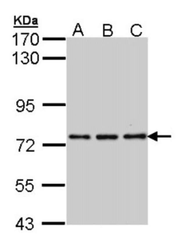 anti-NPAS2, Polyclonal, Novus Biologicals 0.1mL; Unlabeled:Life Sciences