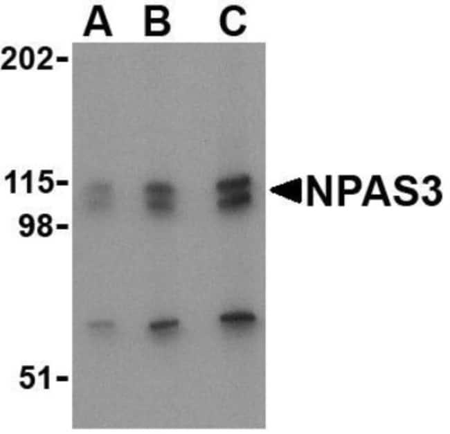 anti-NPAS3, Polyclonal, Novus Biologicals 0.1mg; Unlabeled:Life Sciences