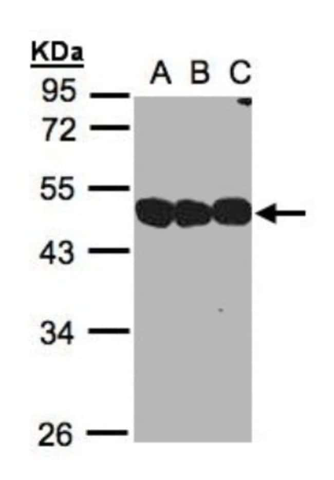 anti-NSFL1C, Polyclonal, Novus Biologicals 0.1mg; Unlabeled:Antibodies