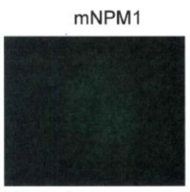 NPM1 Rabbit anti-Human, Mouse, Polyclonal, Novus Biologicals:Antibodies:Primary