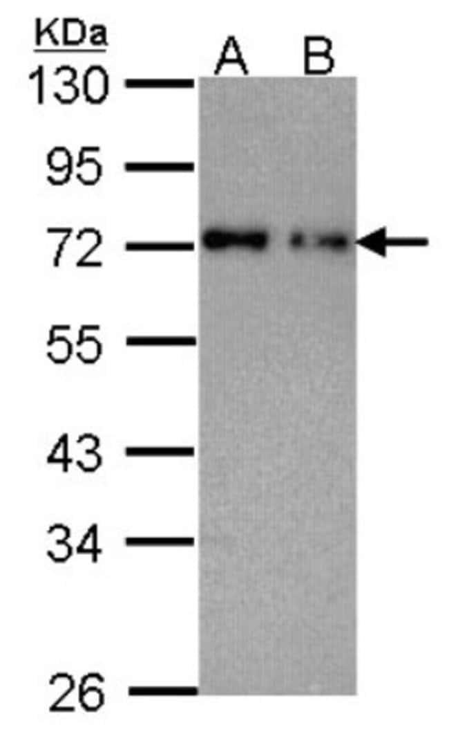 anti-Nucleoporin p62, Polyclonal, Novus Biologicals 0.1mL; Unlabeled:Life
