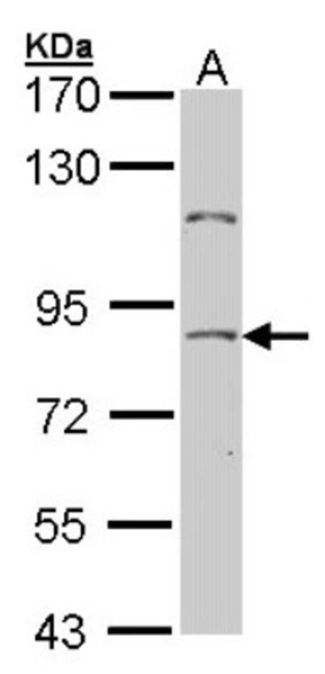 anti-NULP1, Polyclonal, Novus Biologicals 0.1mg; Unlabeled:Life Sciences