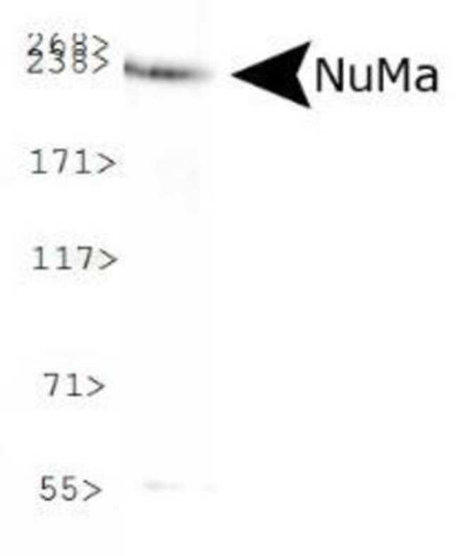 anti-NuMA, Polyclonal, Novus Biologicals:Antibodies:Primary Antibodies