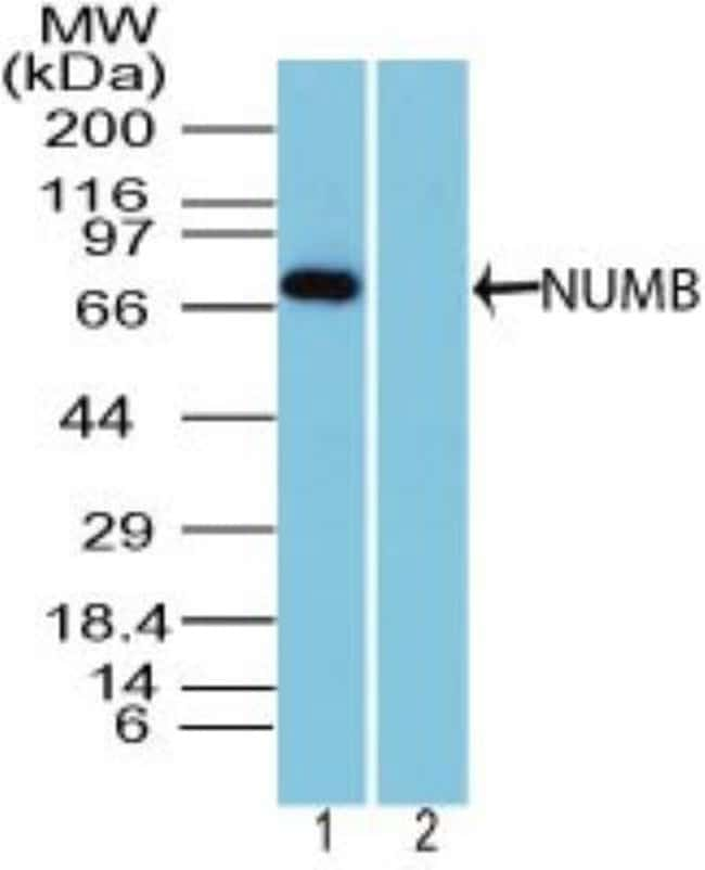 anti-Numb, Polyclonal, Novus Biologicals:Antibodies:Primary Antibodies