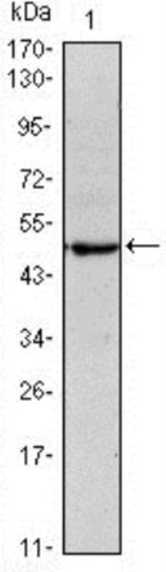 anti-OCT4, Embryonic Stem Cell Marker, Clone: 7E7, Novus Biologicals 0.025mL;