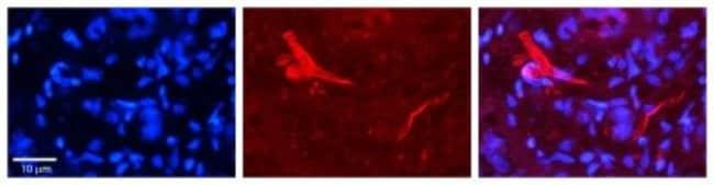 O-GlcNAc Transferase p110 subunit Rabbit anti-Human, Mouse, Rat, Bovine,
