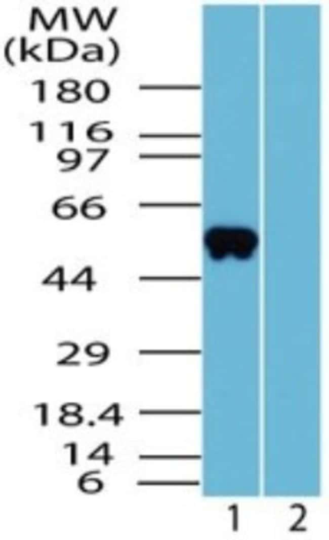 anti-OLFM4, Polyclonal, Novus Biologicals:Antibodies:Primary Antibodies
