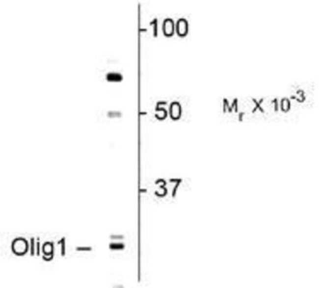 anti-Olig1, Polyclonal, Novus Biologicals 0.1mL; Unlabeled:Life Sciences