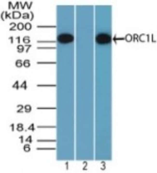 anti-ORC1, Polyclonal, Novus Biologicals:Antibodies:Primary Antibodies
