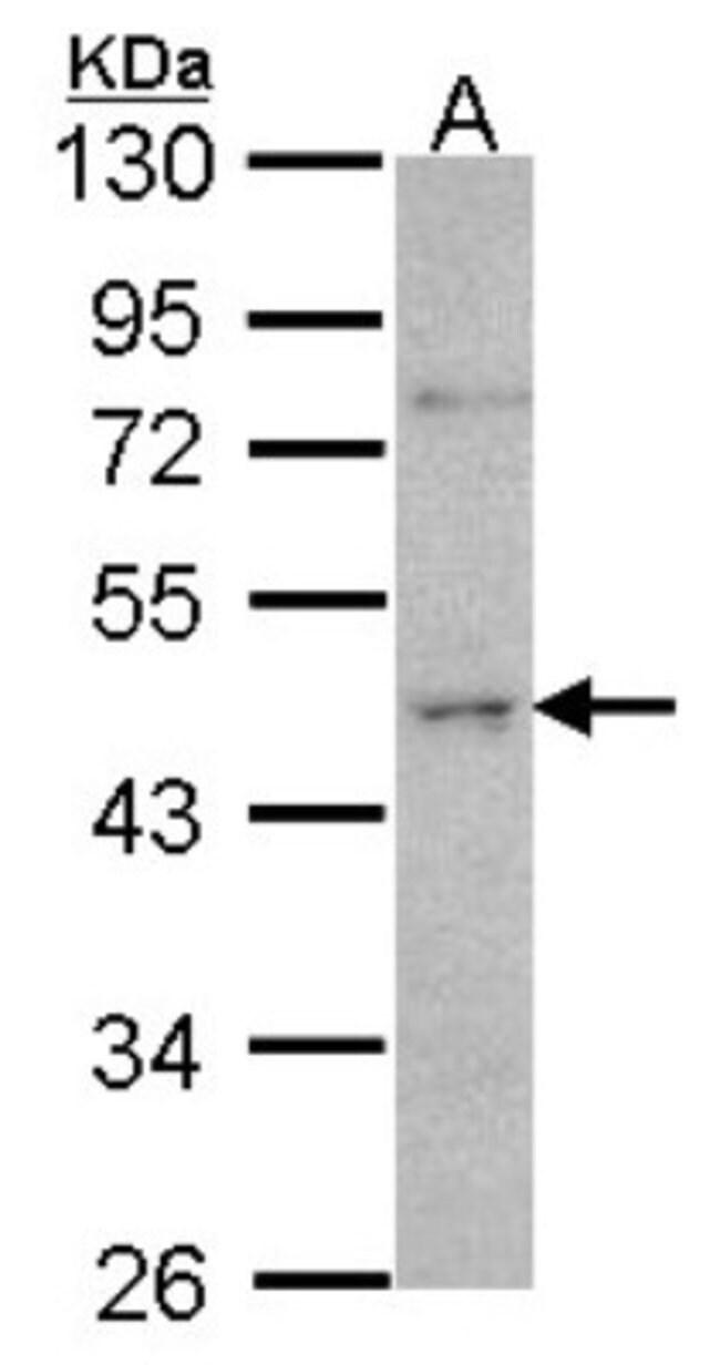 anti-ORC4L, Polyclonal, Novus Biologicals 0.1mL; Unlabeled:Antibodies