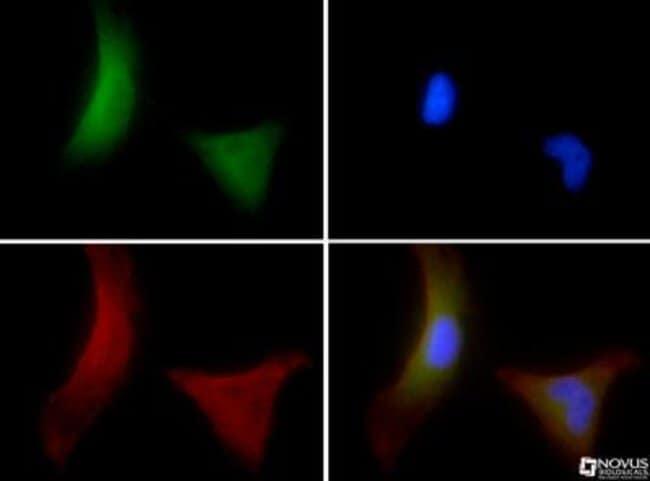 anti-OS9, Polyclonal, Novus Biologicals:Antibodies:Primary Antibodies