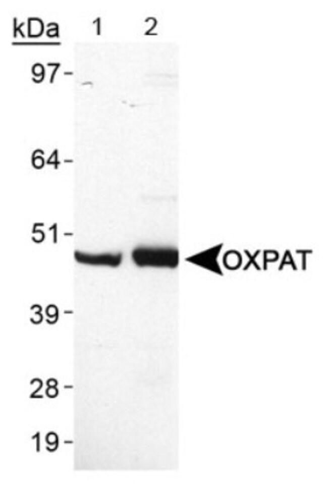 anti-OXPAT, Polyclonal, Novus Biologicals:Antibodies:Primary Antibodies