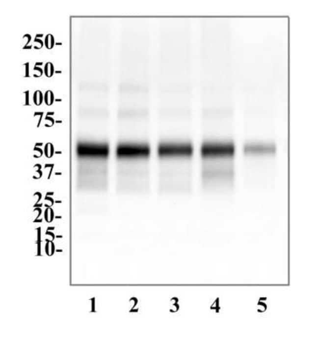anti-P2Y2, Polyclonal, Novus Biologicals:Antibodies:Primary Antibodies