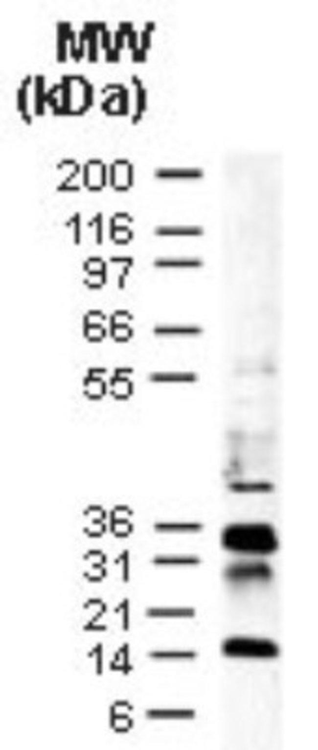 anti-p35 baculovirus, Polyclonal, Novus Biologicals:Antibodies:Primary