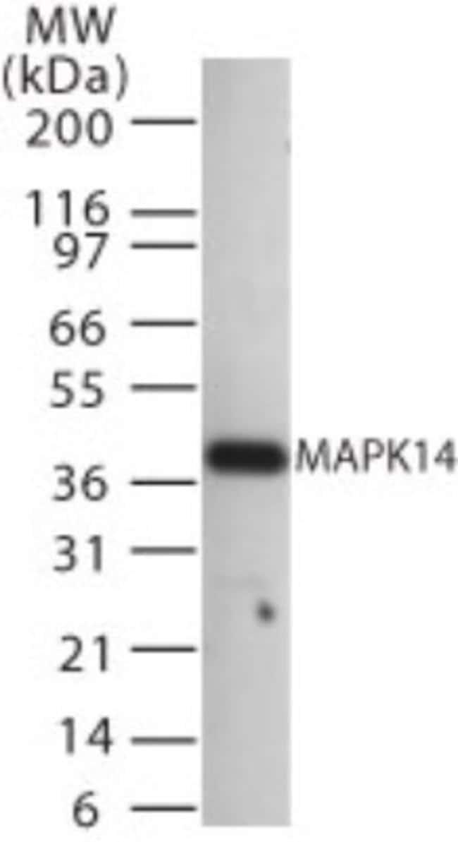 anti-p38, Polyclonal, Novus Biologicals:Antibodies:Primary Antibodies