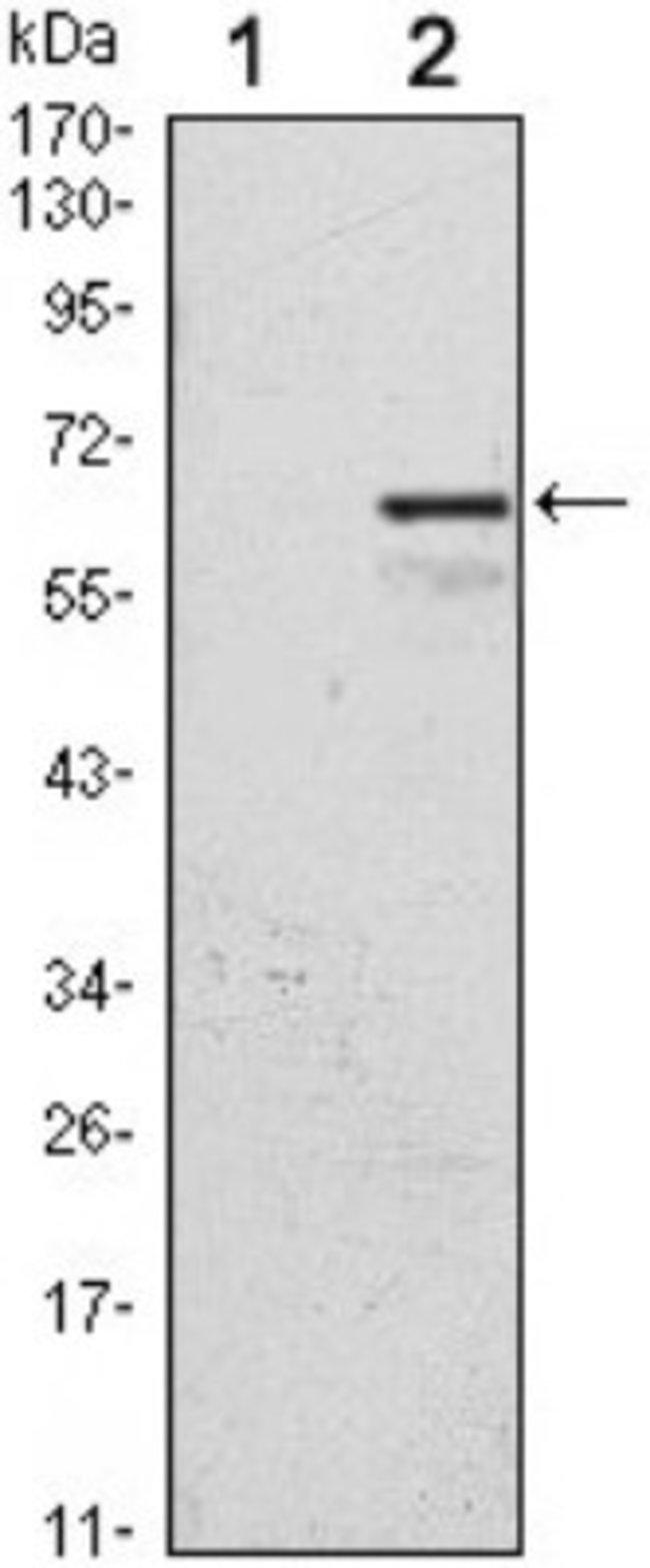 anti-p57 Kip2, Clone: 3E3, Novus Biologicals 0.1mL; Unlabeled:Life Sciences