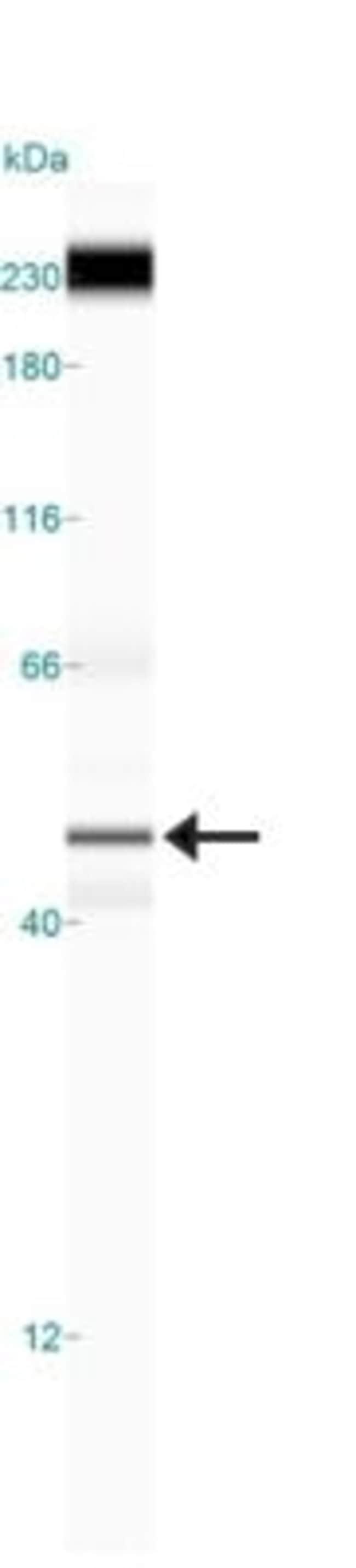anti-p73, Polyclonal, Novus Biologicals:Antibodies:Primary Antibodies
