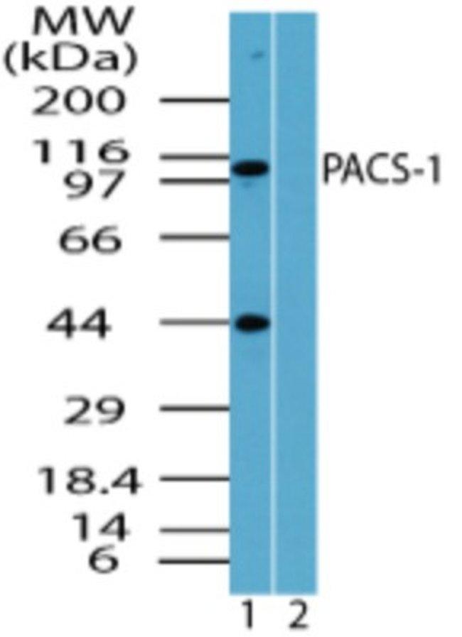anti-PACS1, Polyclonal, Novus Biologicals:Antibodies:Primary Antibodies