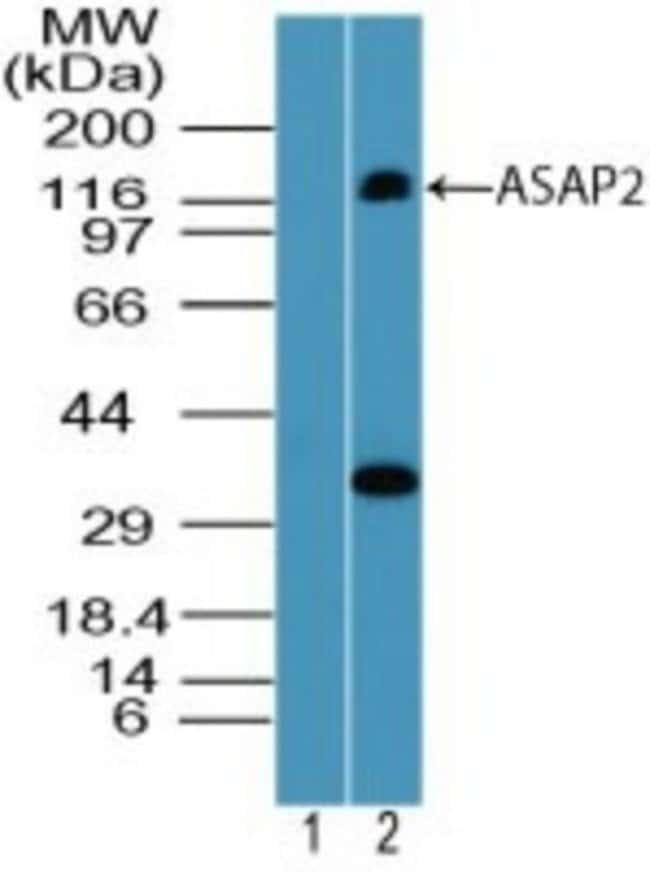 anti-PAG3, Polyclonal, Novus Biologicals:Antibodies:Primary Antibodies