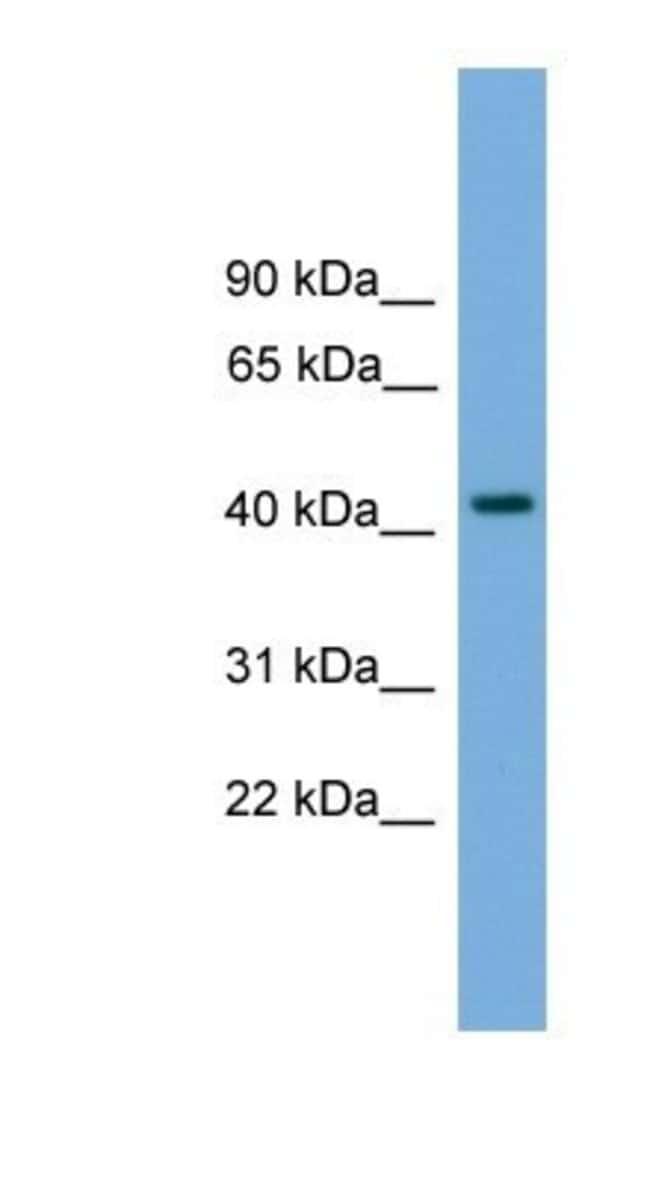 Paralemmin Rabbit anti-Human, Polyclonal, Novus Biologicals 20µL;