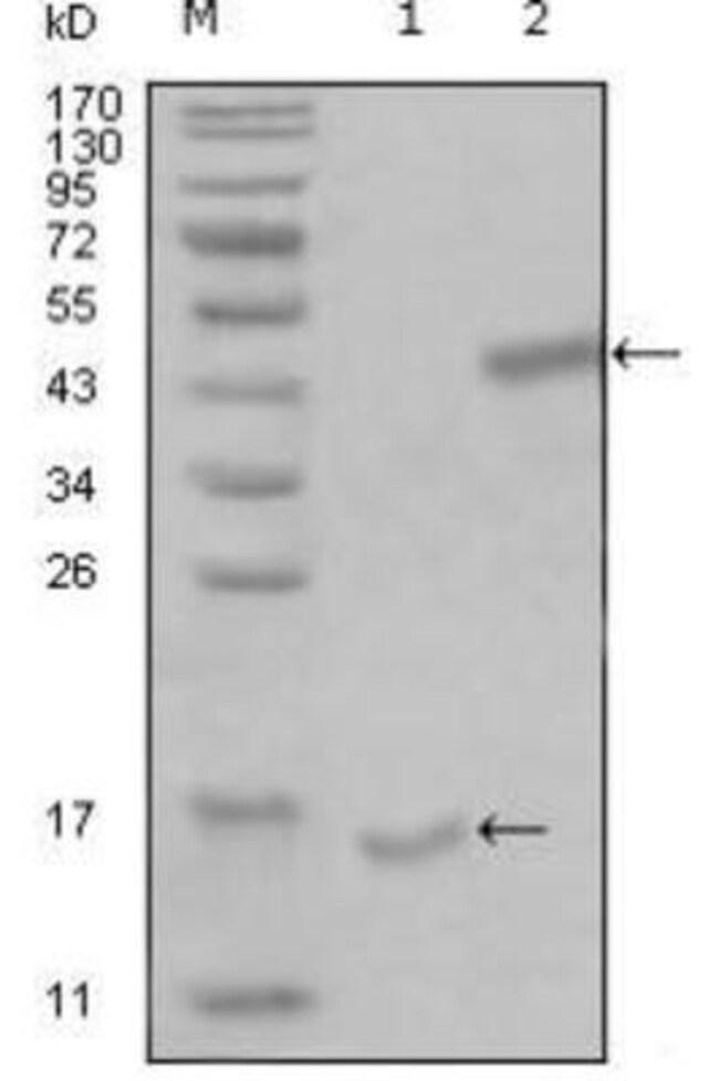 anti-PARL, Clone: 8C4B2, Novus Biologicals 0.1mL; Unlabeled:Life Sciences