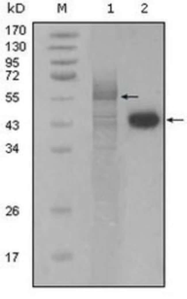 anti-PAWR / PAR4, Clone: 3G9H7, Novus Biologicals 0.1mL; Unlabeled:Life