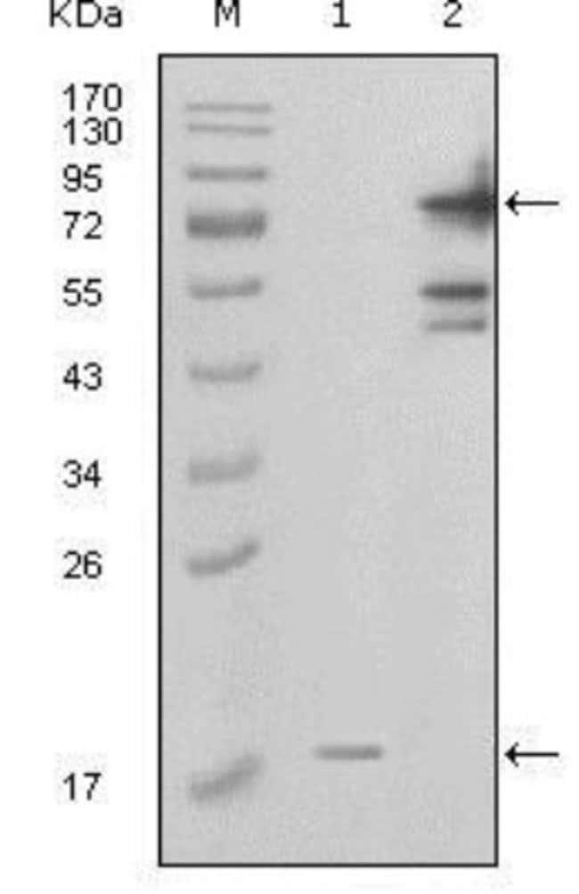 anti-PBEF/Visfatin/NAMPT, Clone: 1D3A12, Novus Biologicals 0.1mL; Unlabeled:Life