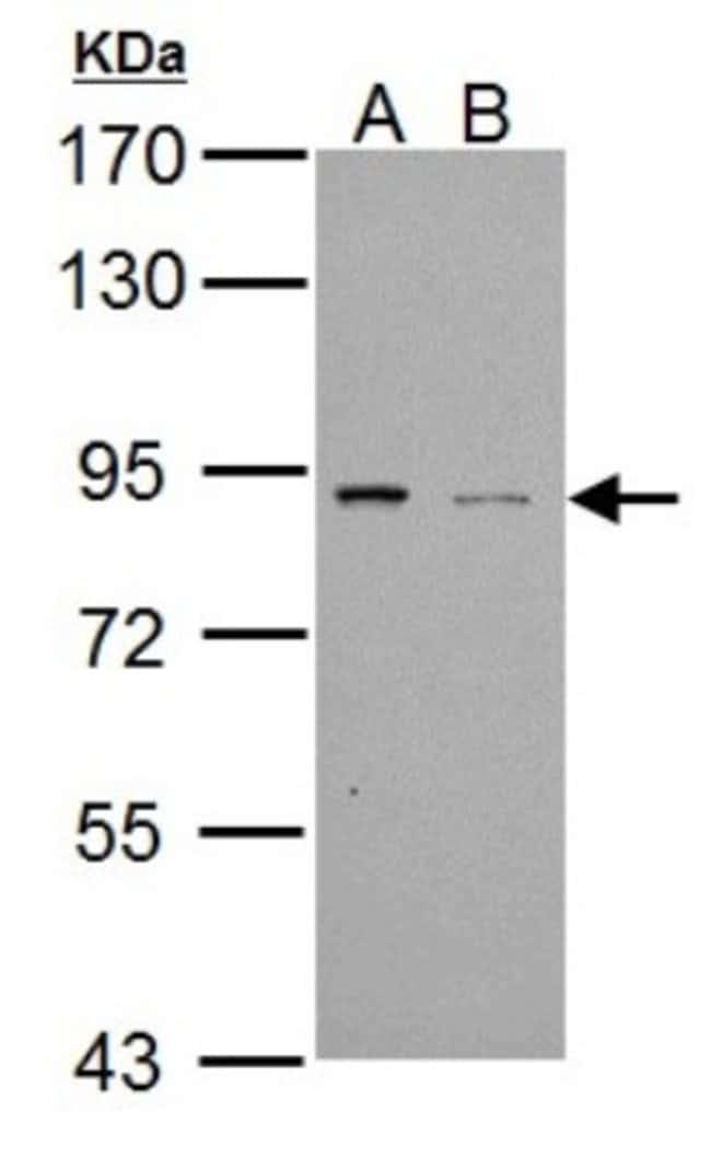 anti-PDE4B, Polyclonal, Novus Biologicals 0.1mL; Unlabeled:Life Sciences