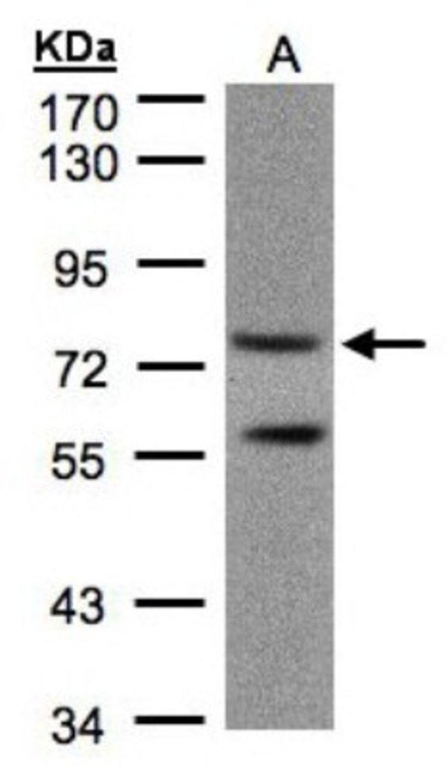 anti-PDE4C, Polyclonal, Novus Biologicals 0.1mL; Unlabeled:Life Sciences