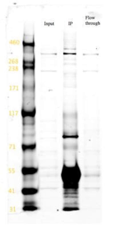 anti-PDI, Polyclonal, Novus Biologicals:Antibodies:Primary Antibodies