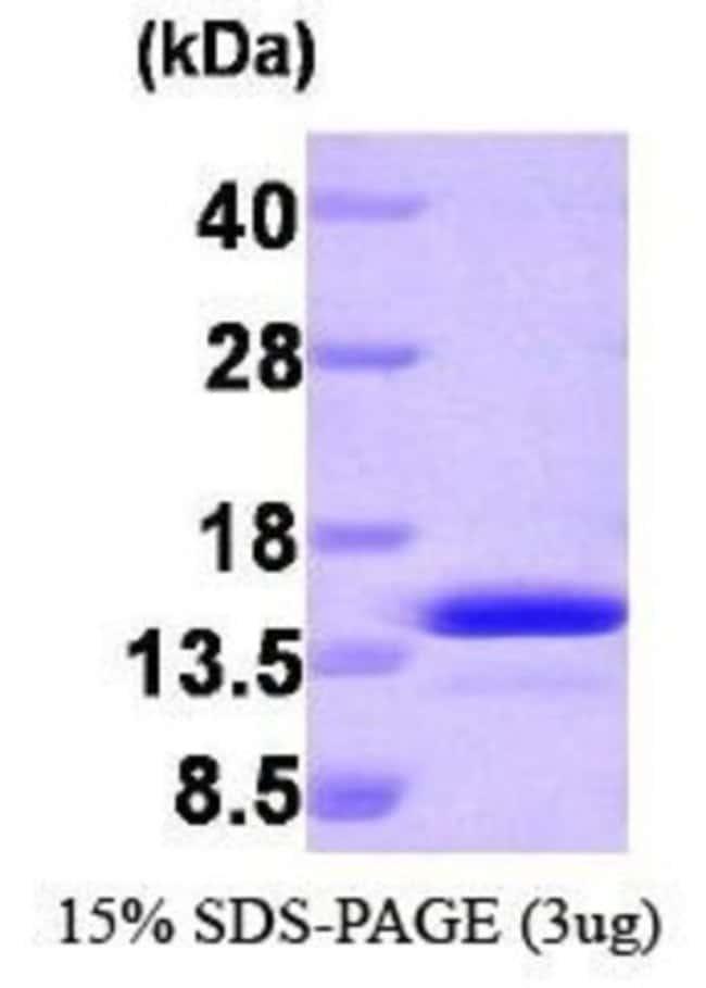 Novus BiologicalsHuman PEA-15 Protein 0.1mg; Unlabeled:Biochemical Reagents