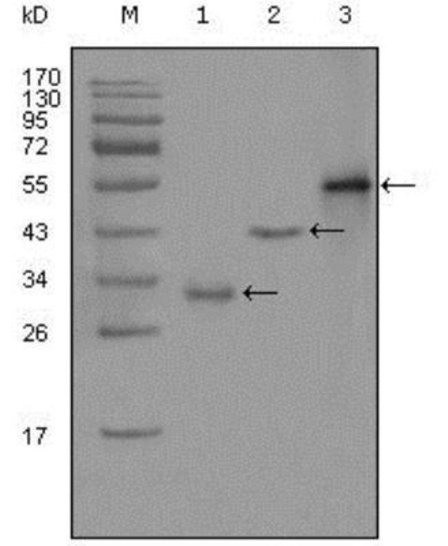 anti-PEG10, Clone: 1B1C4, Novus Biologicals 0.1mL; Unlabeled:Life Sciences