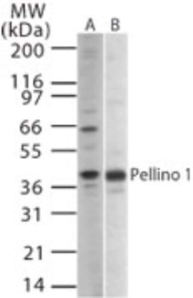 anti-Pellino 1, Polyclonal, Novus Biologicals:Antibodies:Primary Antibodies